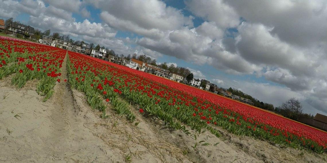 tulip-fields-amsterdam.jpg