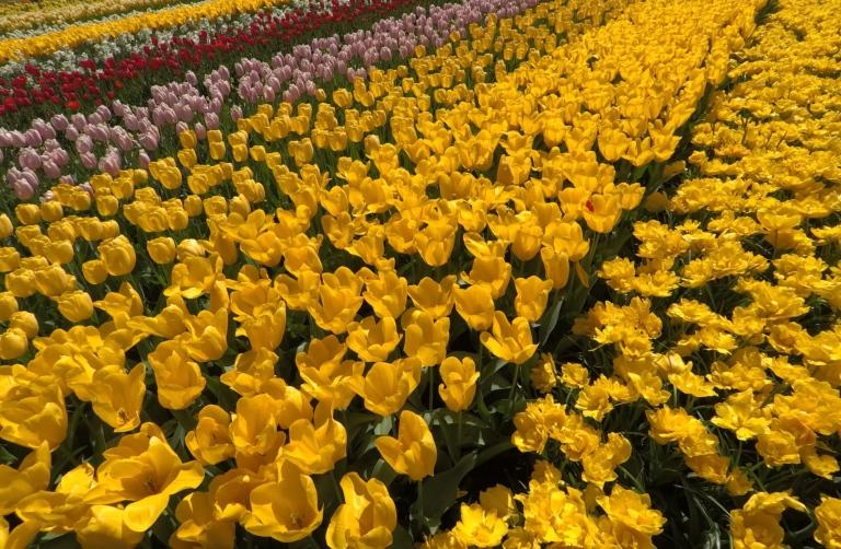 Tulips-Netherlands.jpg