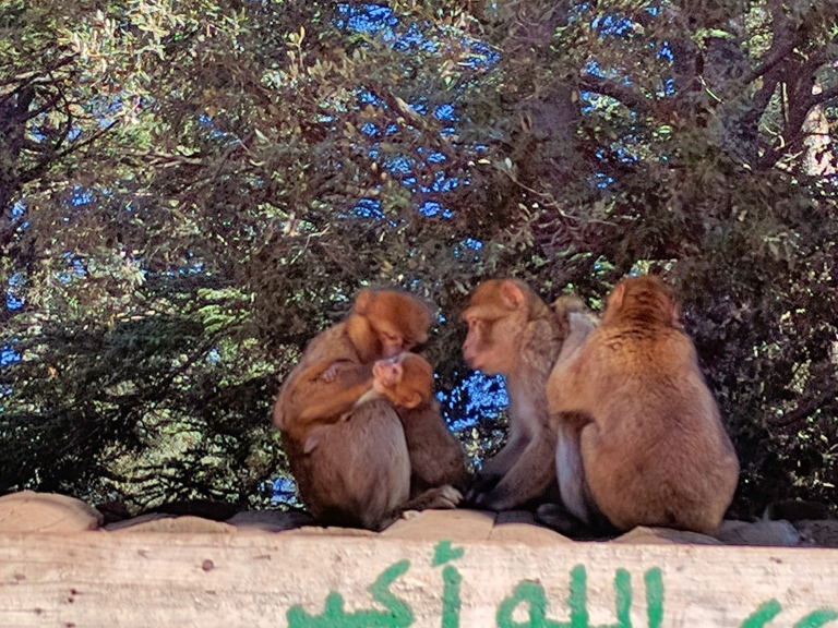 monkeys_morocco.jpg