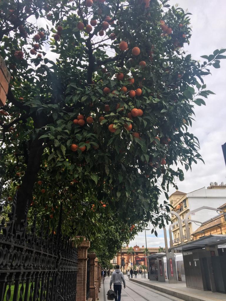 oranges_Seville.jpg